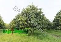 5 Sebab Utama Mengapa Pokok Durian Tidak Berbuah