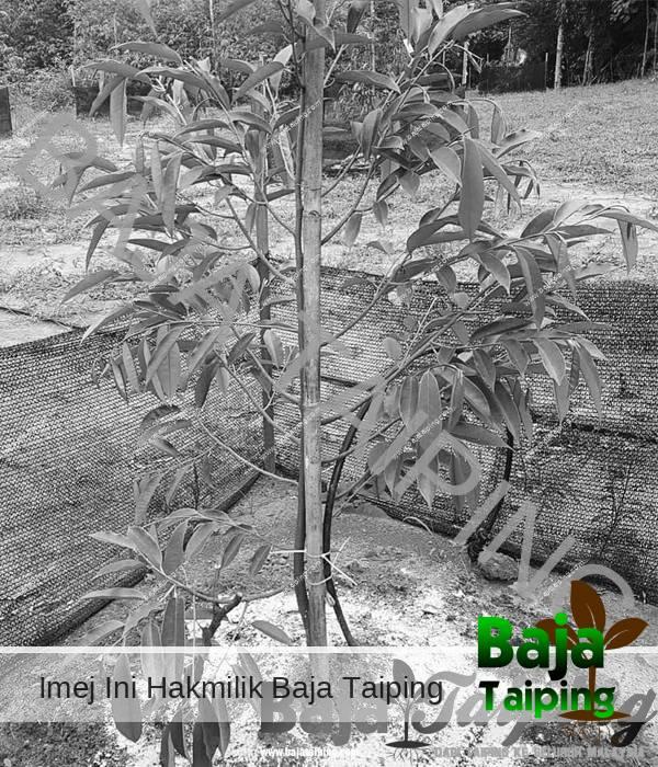 Pokok Durian Sebelum Guna Baja Dolomite