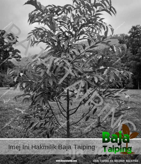 Pokok Durian Selepas Guna Baja Dolomite