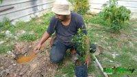 Cara Tanam Anak Pokok Ke Tanah Dari Polybag